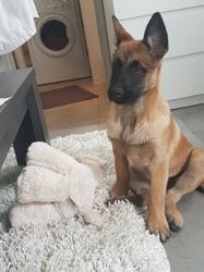 Maiden, chien Berger belge