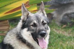 Maido, chien Malamute de l'Alaska