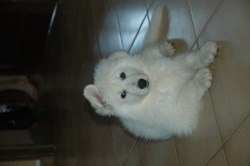 Maidy, chien Berger blanc suisse