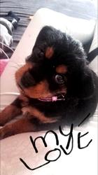 Maika, chien Rottweiler