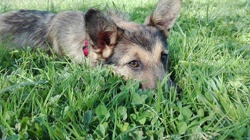 Maika, chien Berger allemand