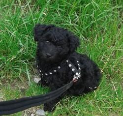 Maika, chien Caniche