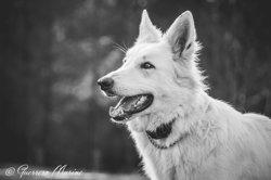 Maikan, chien Berger blanc suisse