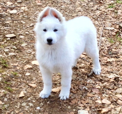 Maikan, chien Berger blanc suisse