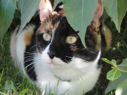 Maiki, chat Européen