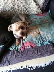 Maiki, chien Yorkshire Terrier