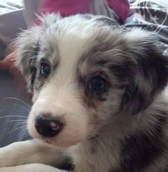 Maiko, chien Border Collie