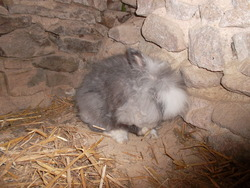 Maille, rongeur Lapin