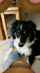 Maîna, chien Berger australien