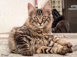 Maine Coon, chat Européen