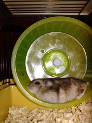 Mainty, rongeur Hamster