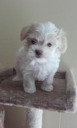 Maisie, chien Bichon havanais