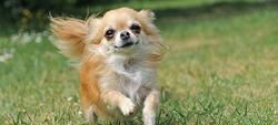 Maisy, chien Chihuahua