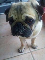 Maîte Ioda, chien Carlin