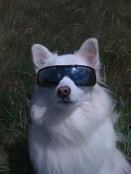 Maiva, chien Spitz japonais