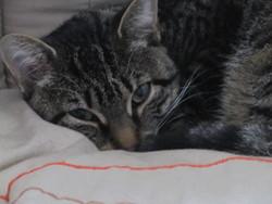 Maiwenn, chat Gouttière