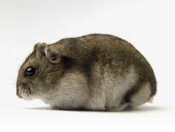 Maja, rongeur Hamster