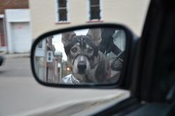 Majeen, chien Husky sibérien