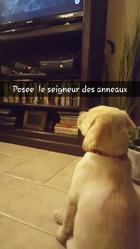 Majella, chien Labrador Retriever