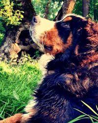 Major, chien Bouvier bernois