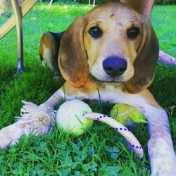 Major, chien Beagle