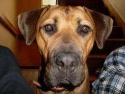 Makeda, chien Cane Corso