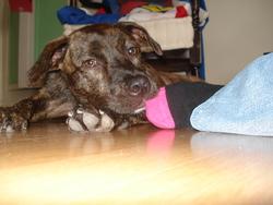 Makhila, chien Boxer