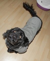 Maki, chien Caniche
