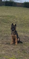 Maki, chien Berger allemand