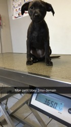 Maki, chien Staffordshire Bull Terrier
