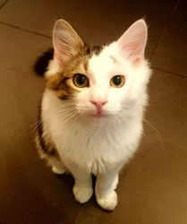 Maki, chat Européen