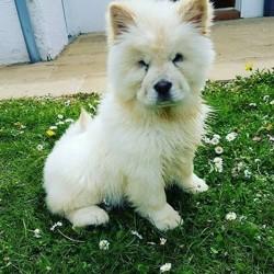 Maki, chien Chow-Chow
