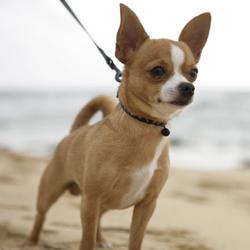 Malabar, chien Chihuahua