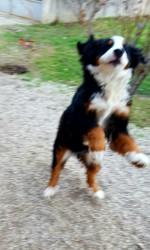 Malaga, chien Bouvier bernois