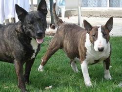 Malakai, chien Bull Terrier