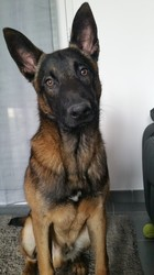 Malao, chien Berger belge
