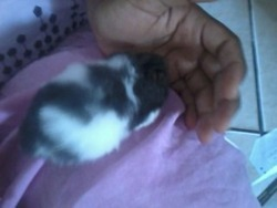 Malawi Au Paradis Des Hamster , rongeur Hamster
