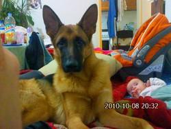 Malbrouk, chien Berger allemand