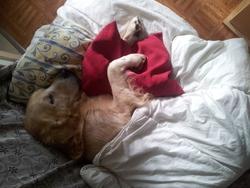 Malcom, chien Golden Retriever