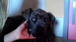 Malcom, chien Cane Corso