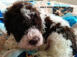 Mâle Blanc  Marron  24 09 2014, chien Chien d'eau romagnol