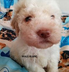 Mâle Blanc Portée 24 Septembre 2014, chien Chien d'eau romagnol
