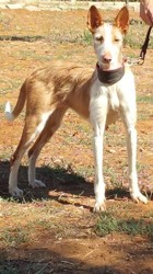 Malena, chien Podenco ibicenco