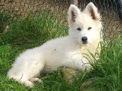 Malia, chien Berger blanc suisse