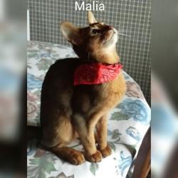 Malia, chat Abyssin