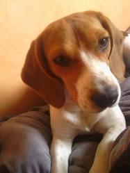 Malice, chien Beagle