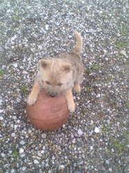 Malice, chien Cairn Terrier