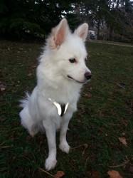 Malicia, chien Spitz japonais