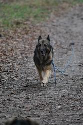Malie, chien Berger allemand