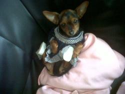 Malika, chien Yorkshire Terrier